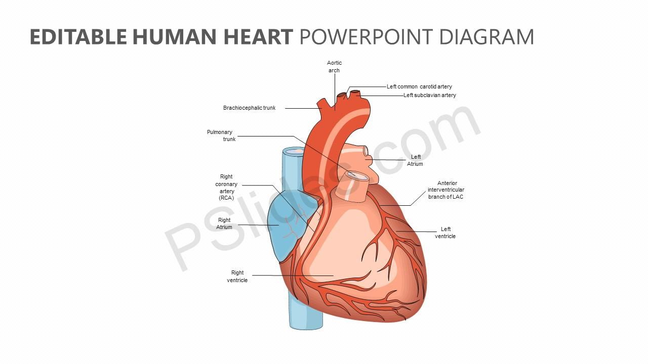 hight resolution of editable human heart powerpoint diagram jpg
