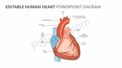 small resolution of editable human heart powerpoint diagram jpg