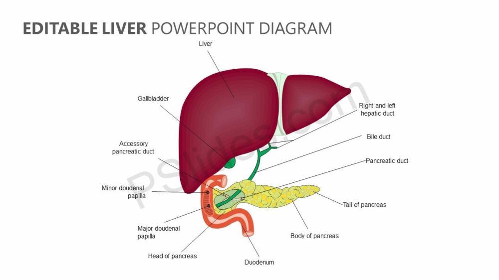 medium resolution of red liver diagram