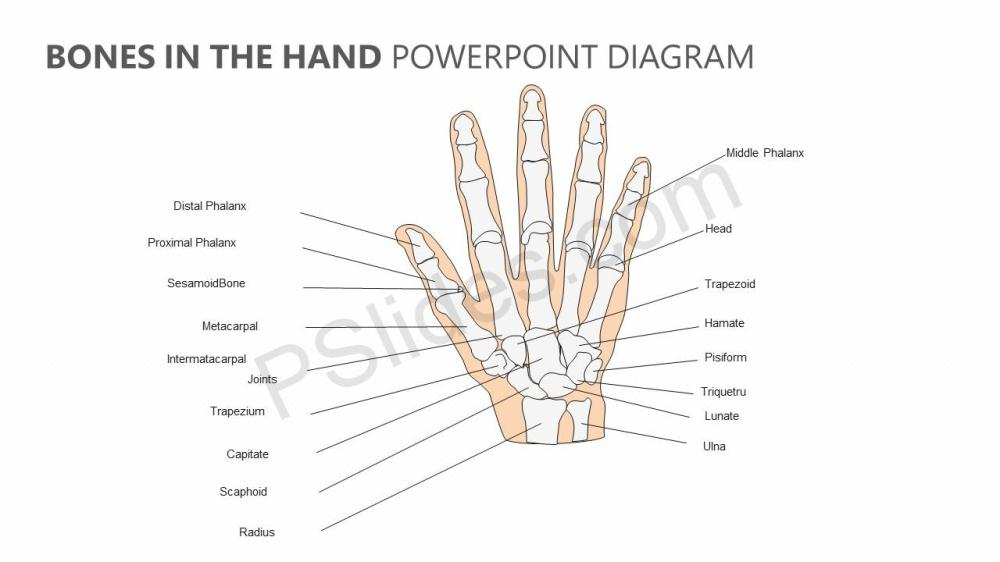 medium resolution of bones in the hand powerpoint diagram jpg