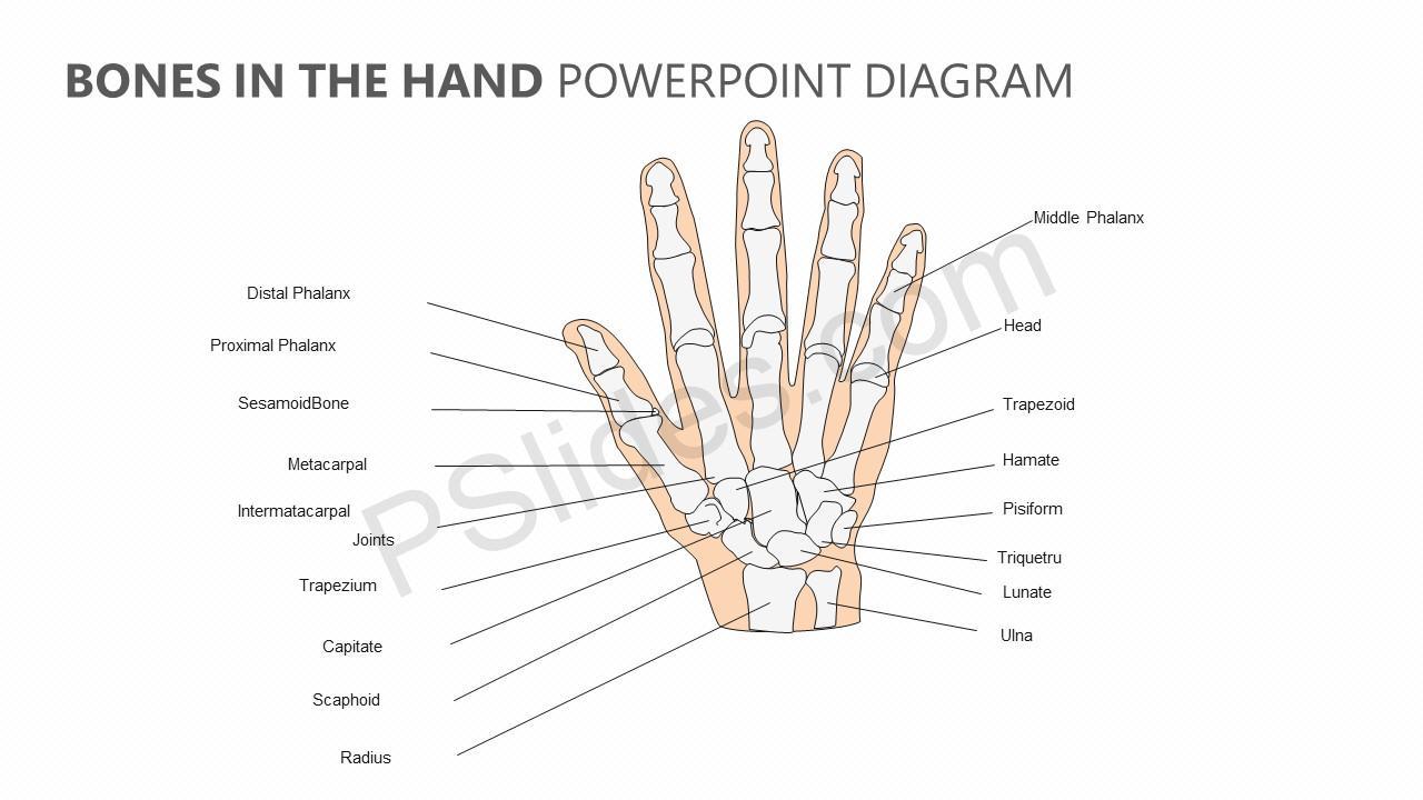 hight resolution of bones in the hand powerpoint diagram jpg