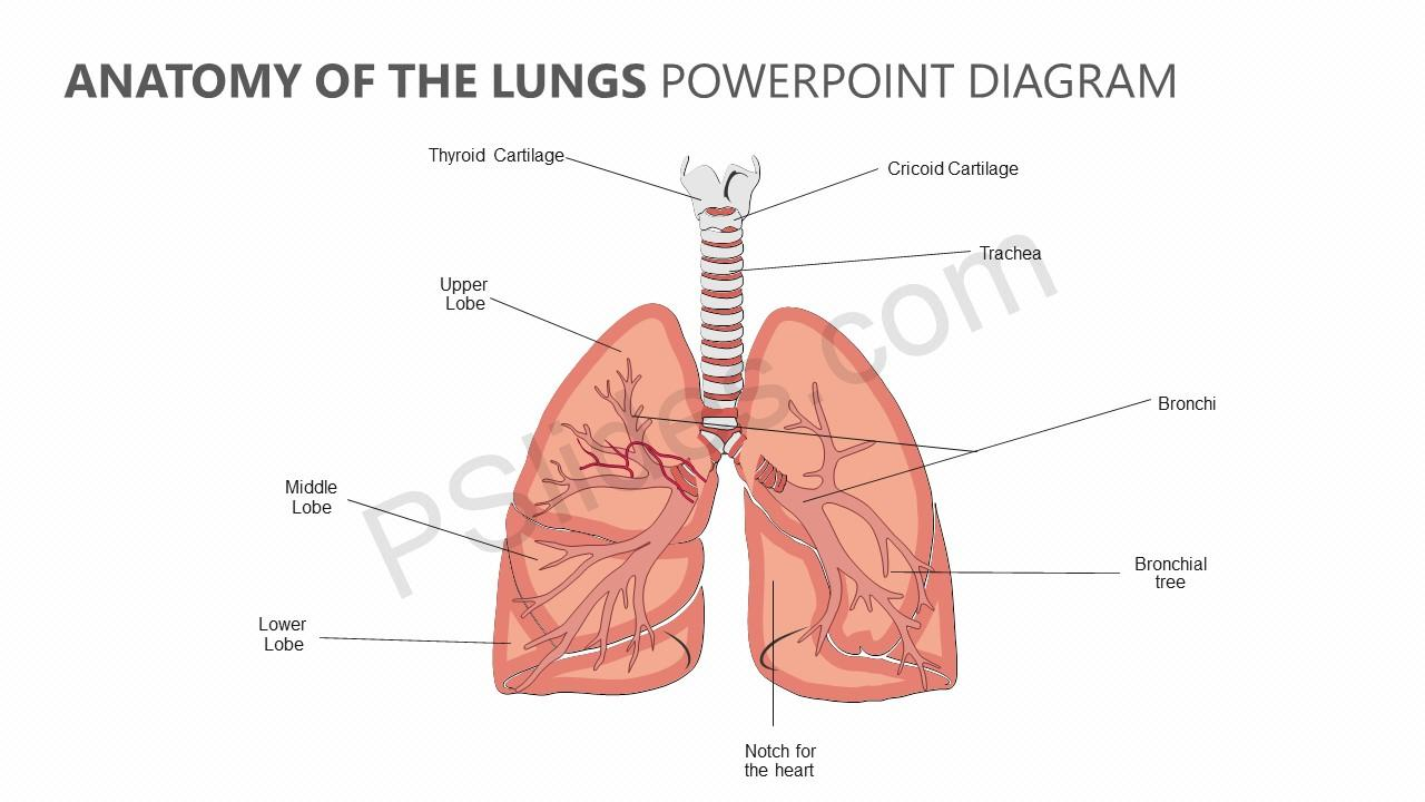hight resolution of anatomy of the lungs powerpoint diagram jpg