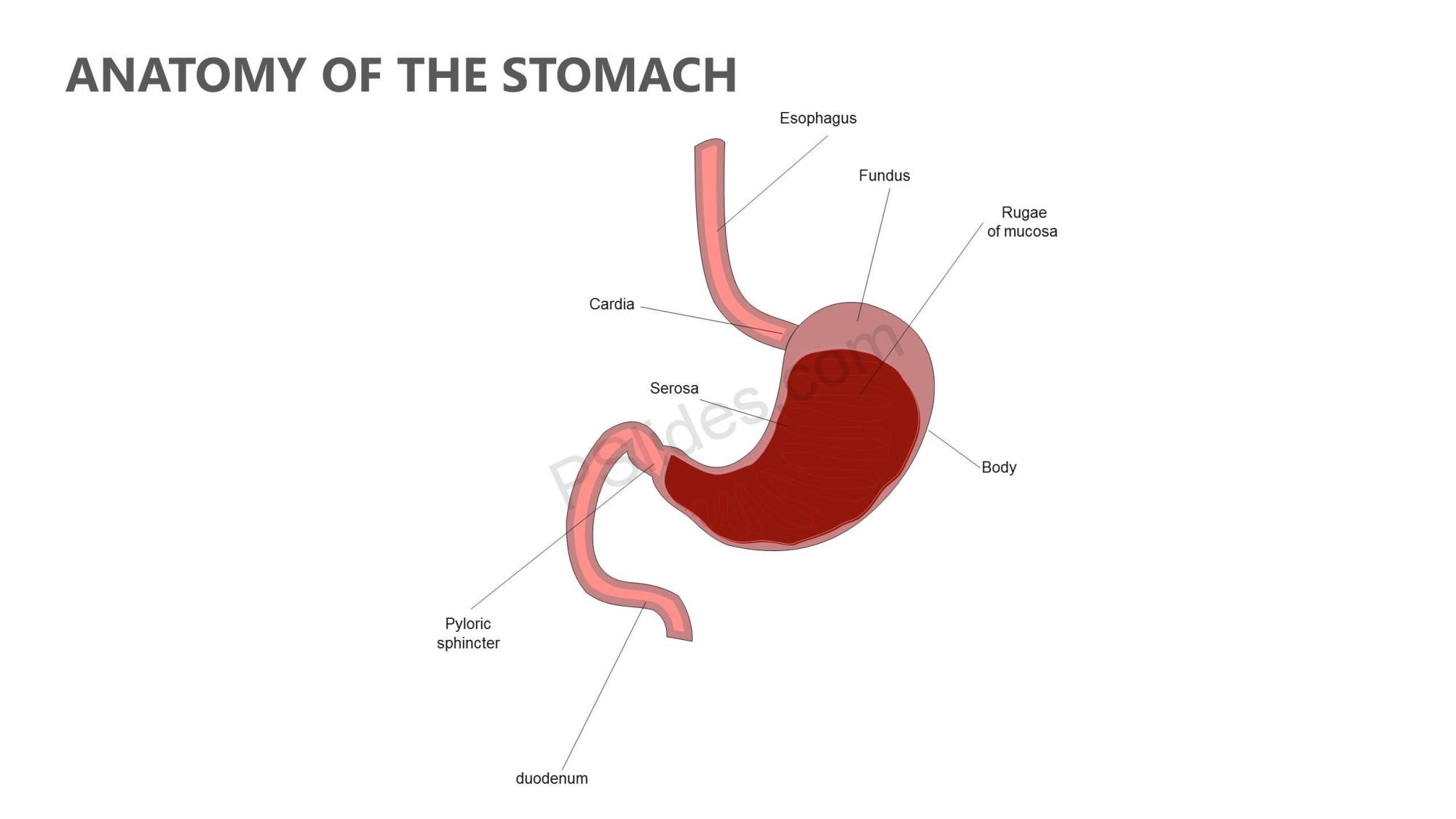 hight resolution of anatomy of the stomach powerpoint diagram slide1