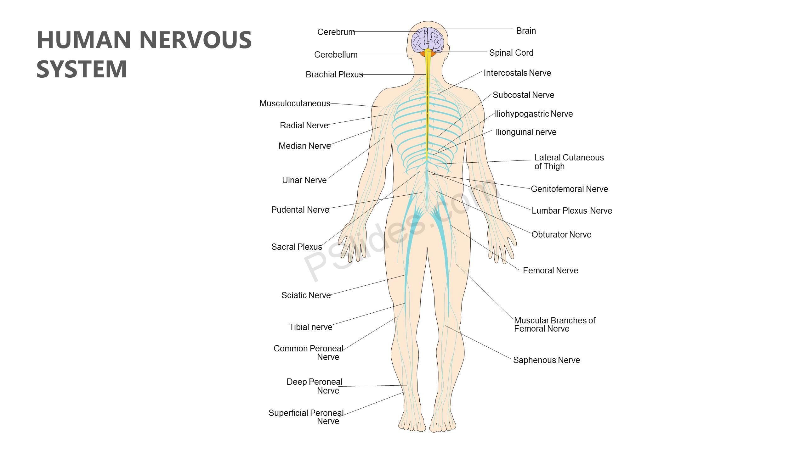 Human Nervous System Powerpoint Diagram
