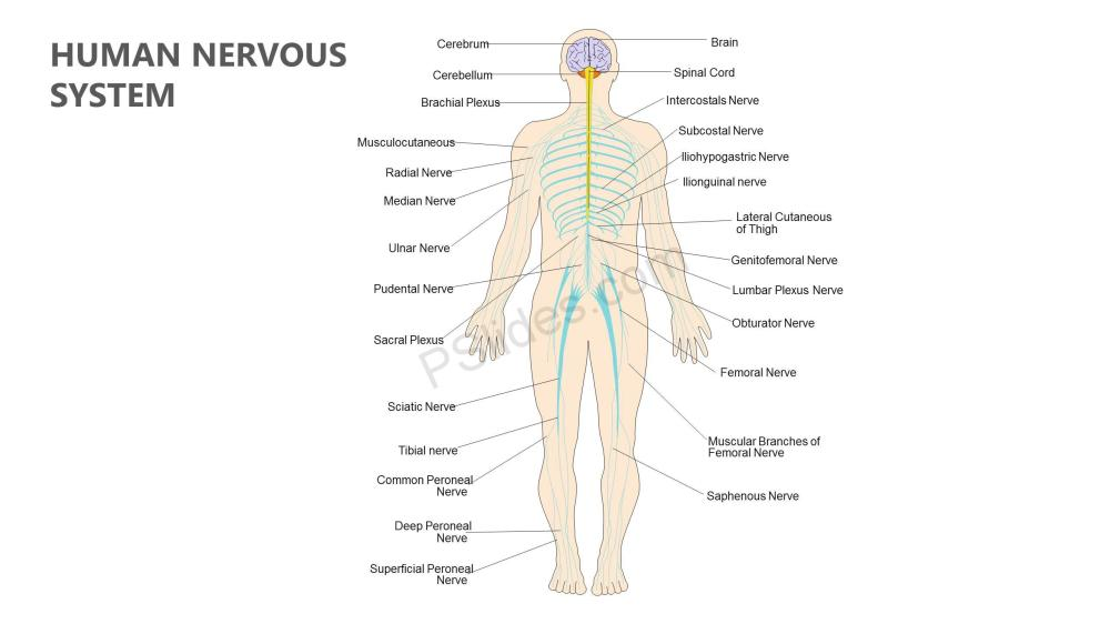 medium resolution of human nervous system powerpoint diagram slide1