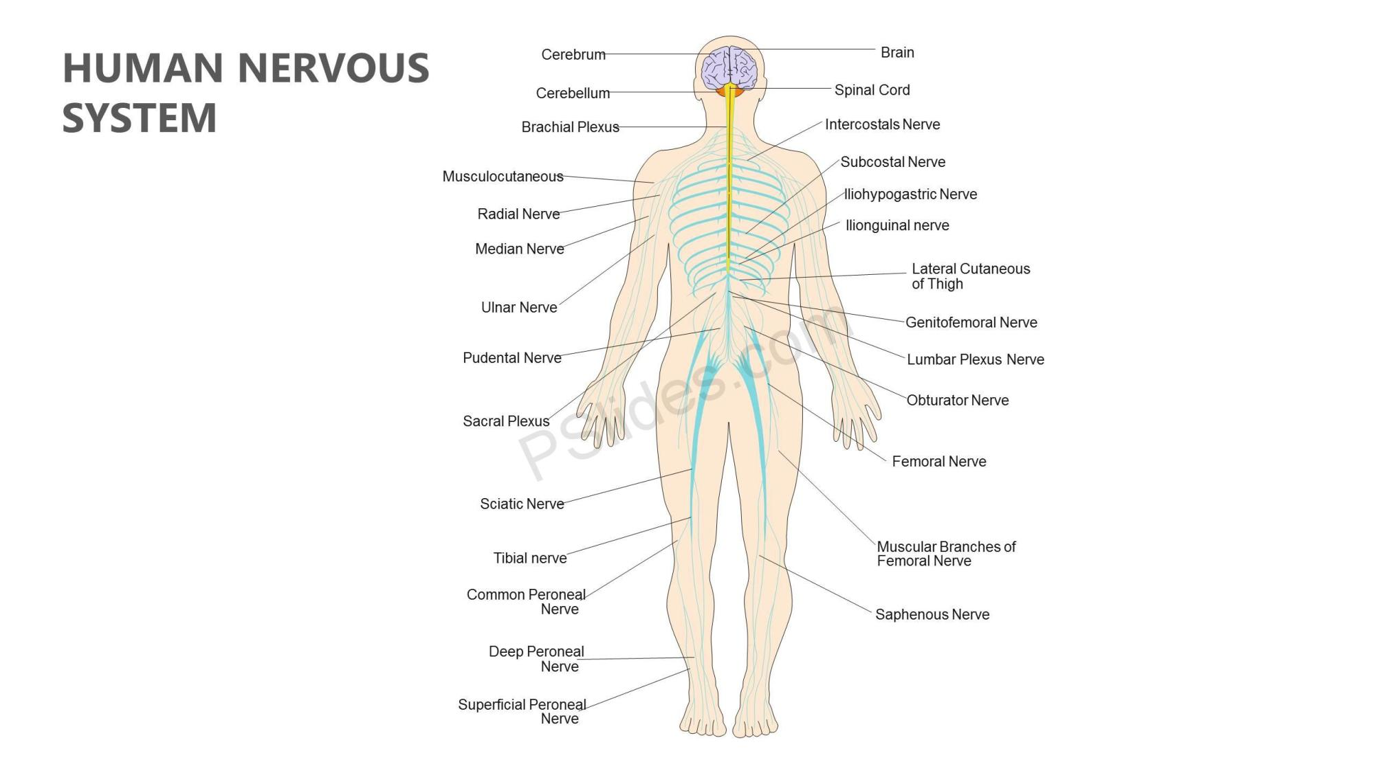 hight resolution of human nervous system powerpoint diagram slide1