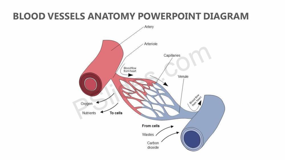 medium resolution of blood vessels anatomy powerpoint diagram slide1