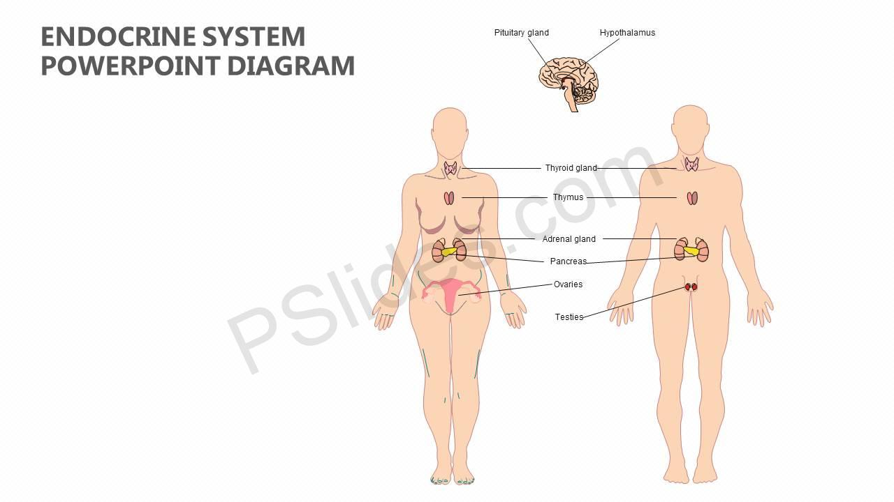 endocrine system diagram electrical 2 way switch wiring powerpoint pslides slide1