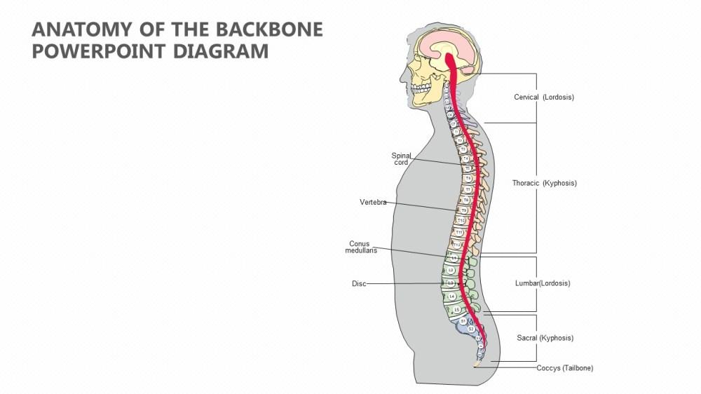 medium resolution of diagram of backbone wiring diagram category anatomy of the backbone powerpoint diagram pslides diagram of back