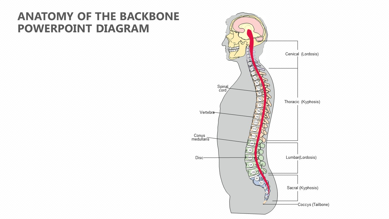 hight resolution of anatomy of the backbone powerpoint diagram pslides diagram of backbone fast anatomy of the backbone powerpoint