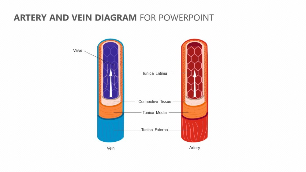 medium resolution of artery and vein diagram for powerpoint jpg