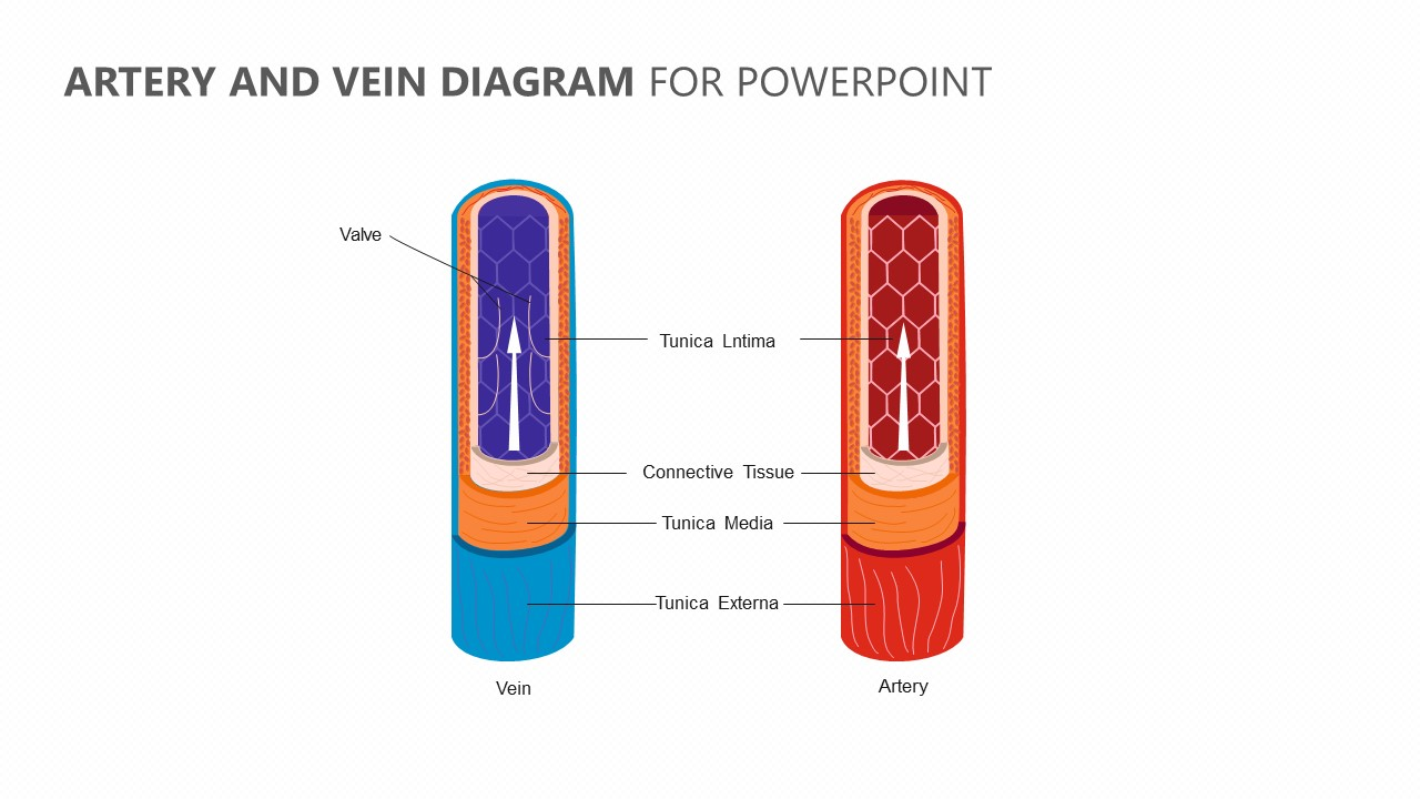 hight resolution of artery and vein diagram for powerpoint jpg