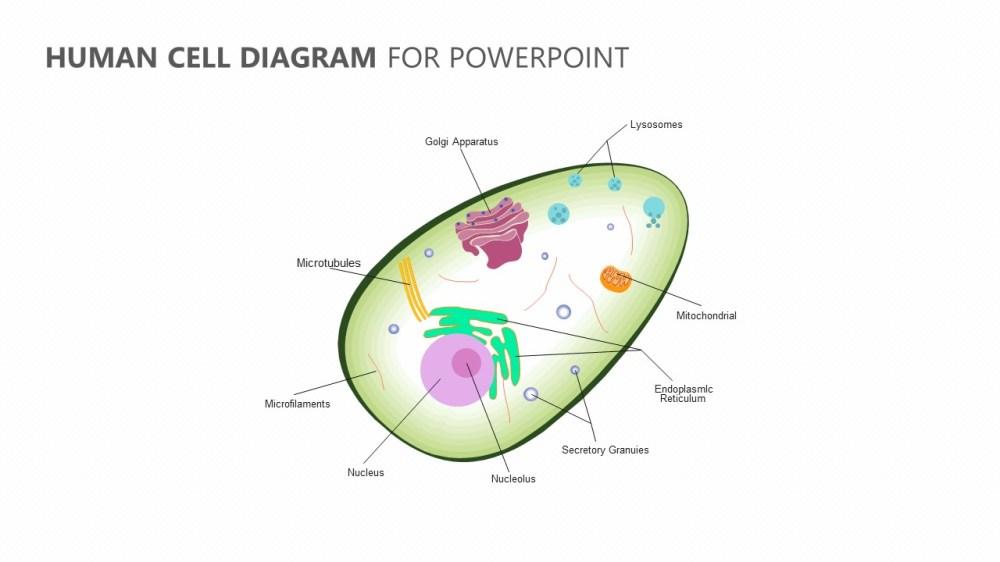 medium resolution of human cell diagram for powerpoint jpg