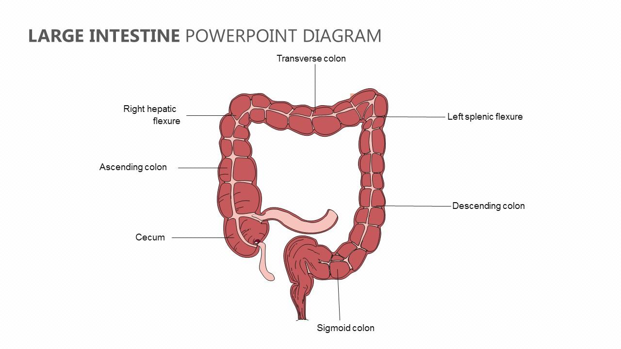 hight resolution of large intestine powerpoint diagram large intestine powerpoint diagram