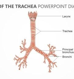 anatomy of the trachea powerpoint diagram pslides anatomy of the trachea powerpoint diagram jpg [ 1280 x 720 Pixel ]