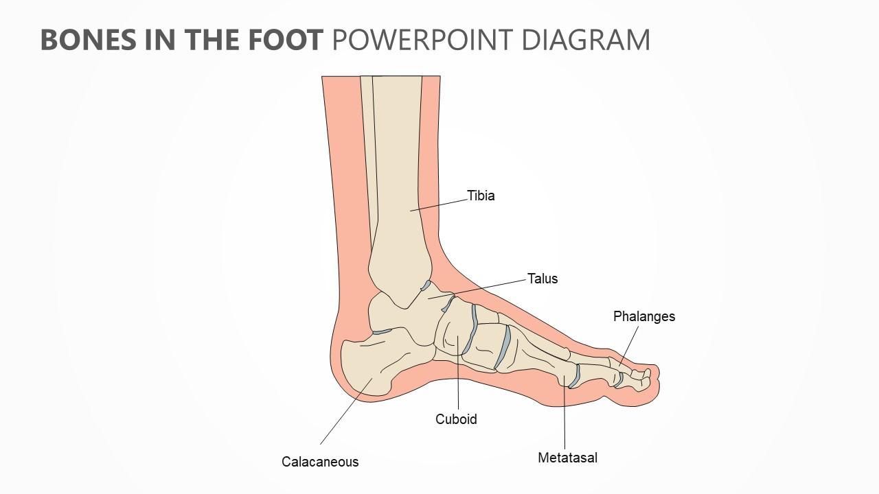 hight resolution of bones in the foot powerpoint diagram jpg