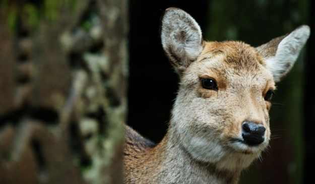 A Japanese sika deer.