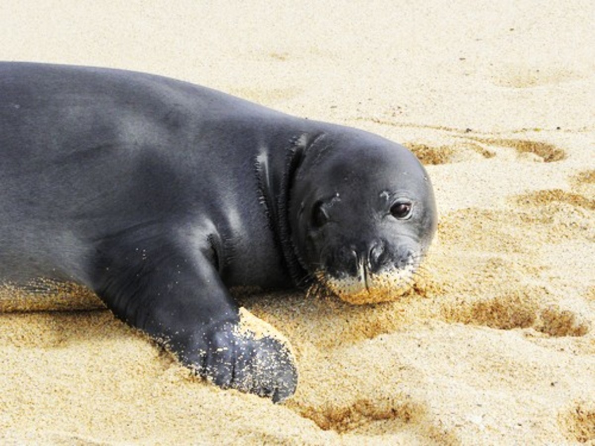 can monk seals find
