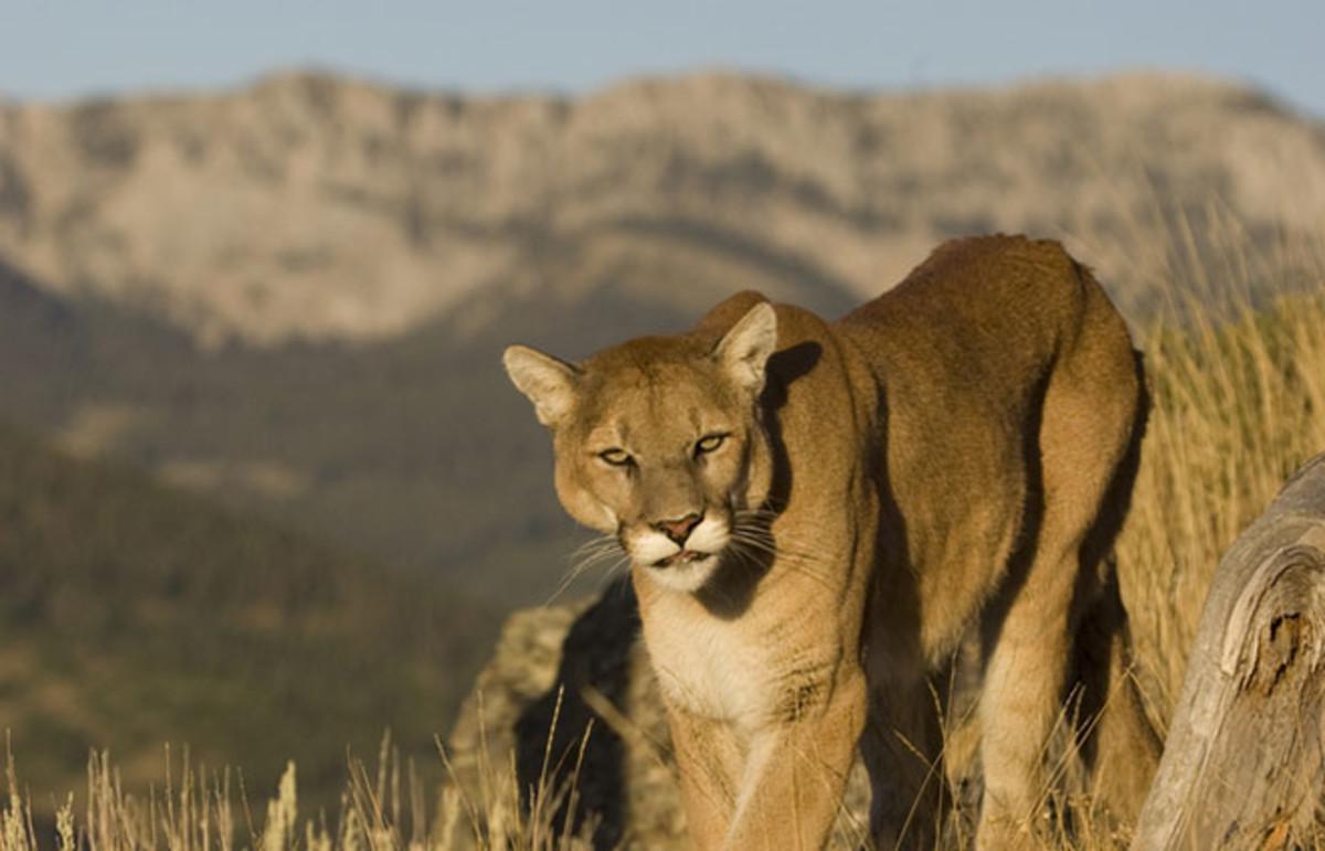 shooting a mountain lion