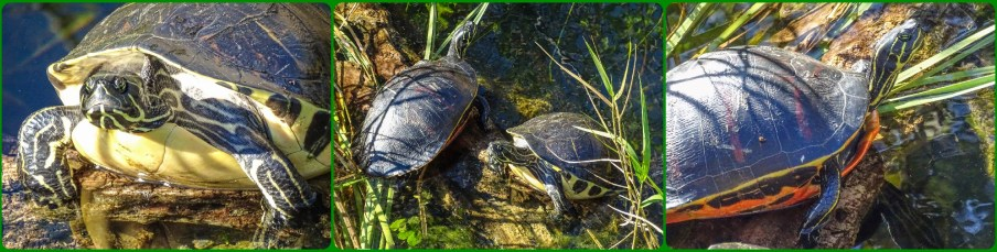 Peninsula Cooter, both, Florida Cooter (Red-bellied Turtle)