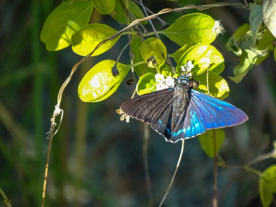 Mangrove Skipper: Key West Botanical Garden