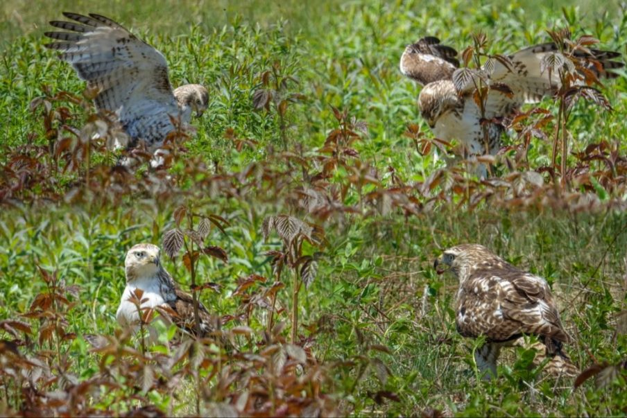 Juvenile Red-tailed Hawk with prey, Laudholm Farms, Wells ME
