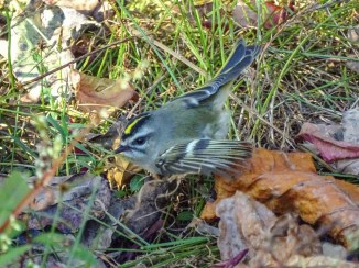 Golden-crowned Kinglet 2000