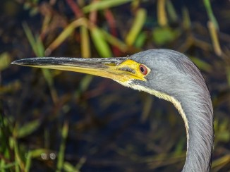 Tricolored Heron, Anhinga Trail, Everglades NP