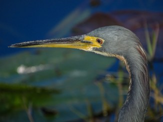 Tricolored Heron, Shark Valley, Everglades NP