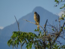 Roadside Hawk, Cuero y Salado Wildlife Refuge