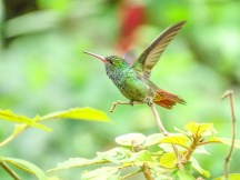 Rofous-tailed Hummingbird