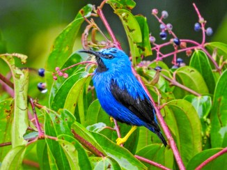 Shinning Honeycreeper, Tranquilo Bay Lodge, Panama