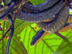 Bird-eating Snake, Tranquilo Bay Lodge, Panama