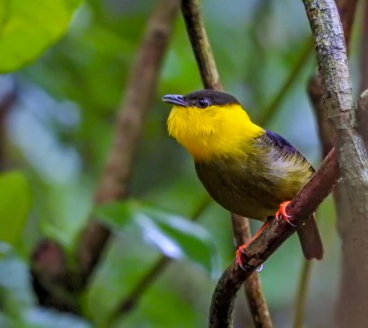 Golden-collared Manakin, Tranquilo Bay Lodge, Panama