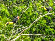 Black-mandibled Toucan, Popa Island, Panama