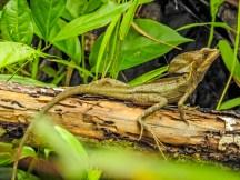 Green Basalisk Lizard, Popa Island, Panama