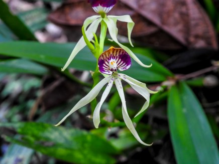 Orchid, Green Acres Chocolate Farm, Bocas del Toro, Panama