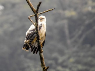 White Hawk, Reserva Forestal De Fortuna, Panama