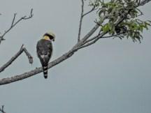 Laughing Falcon, Chiriqui Grande, Panama