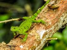 Green Iguana, Snyder Canal, Changuinola Panama