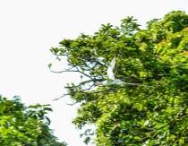 Red-billed Tropicbird, Bird Islands, Bocas del Toro Province, Panama