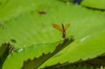 Mexican Amberwing, Lancetilla Botanical Gardens, Tela Honduras
