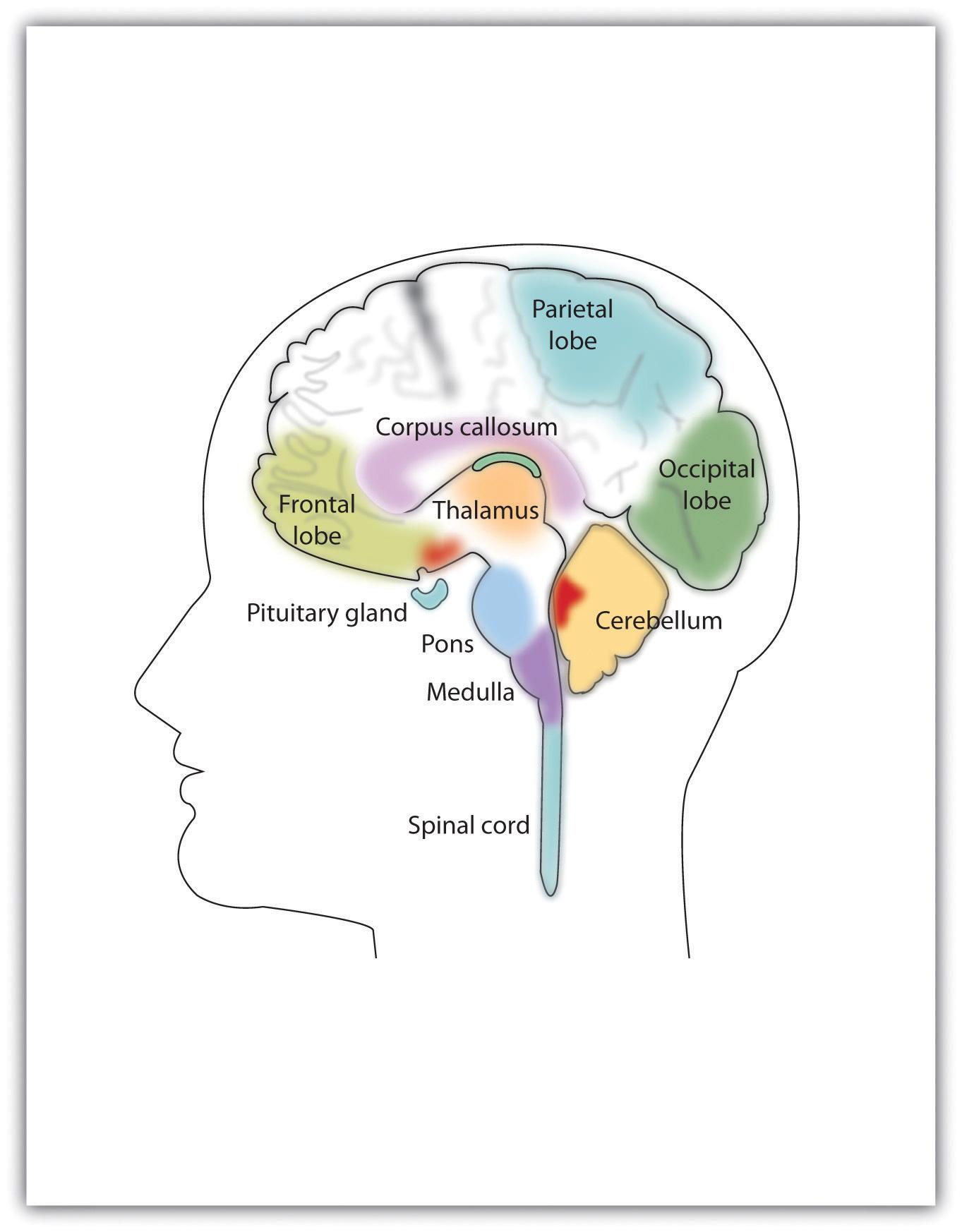 Nervous System Diagram Psychology The Human Nervous