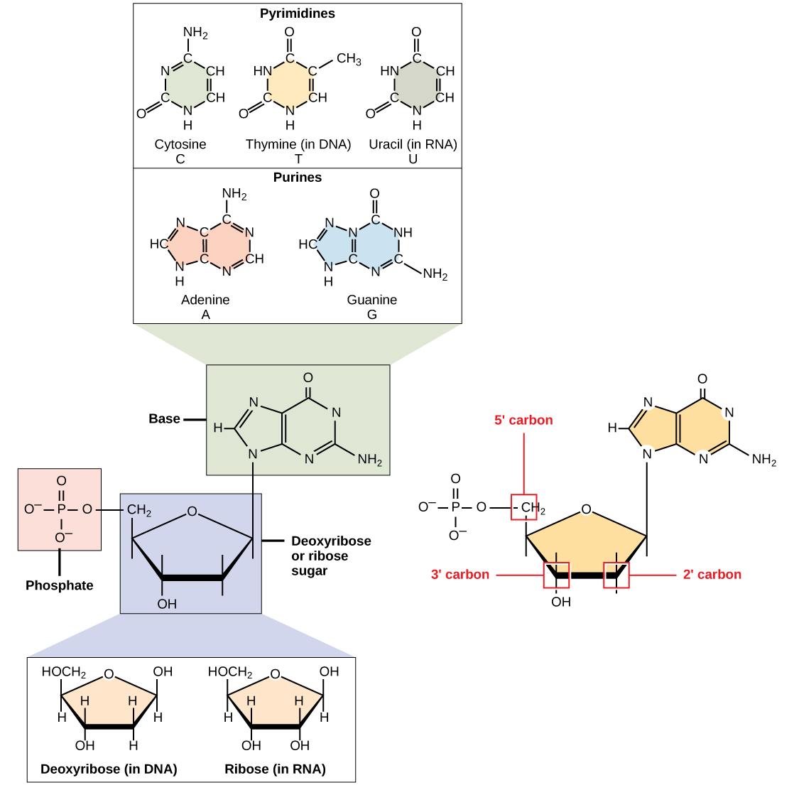3 5 Nucleic Acids Biology 110 Psu Dubois