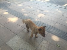 We often see this guy roam the streets in Futian. As you can tell, he is shaved an looks to have a home somewhere.
