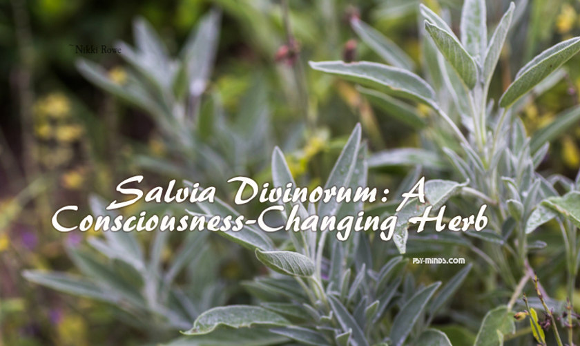 Salvia Divinorum a Consciousness-Changing Herb 22