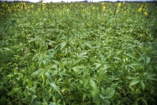 4 Ways The Hemp Plant Can Save the World 1