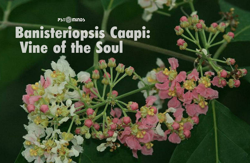 Banisteriopsis Caapi Vine of the Soul