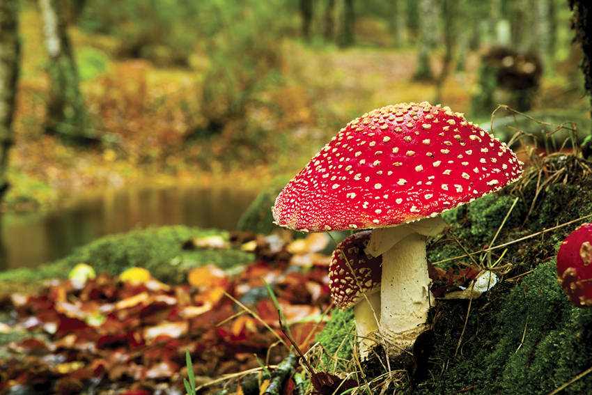 Amanita Muscaria's Myths and Folkore1