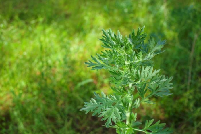 Artemisia Absinthium psychoactive